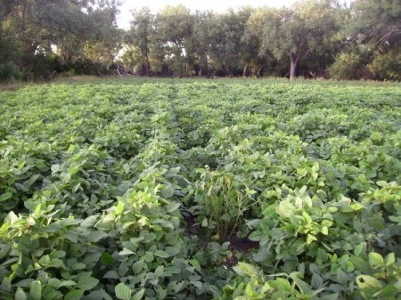 Growth Cycle of Forage Soybean Foodplots