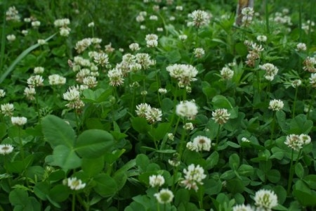 Growing Clover